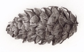 Douglas Fir Cone © Helen Byers 2015. All rights reserved.