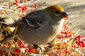 Pine Grosbeak eating winterberries
