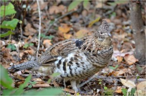 Ruffed Grouse Photo Credit: Alicia Morrison
