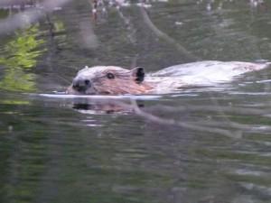 beaver-300x225