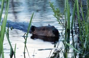 beaver in water