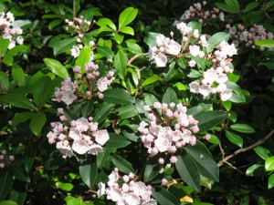 mountainlaurel01